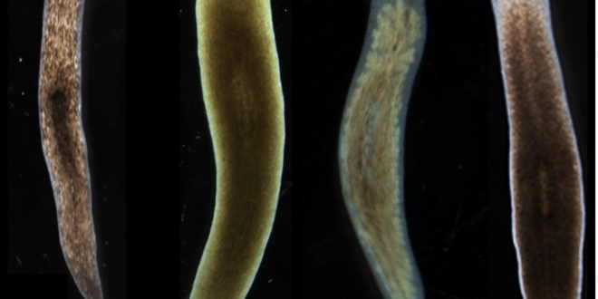 Biologists induce flatworms to grow heads and brains of other species | KurzweilAI