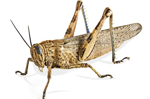 'Robot locust' can jump 11 feet high | KurzweilAI