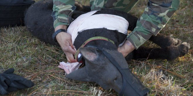 Robot dog helps handlers practice for battlefield injuries | Marine Corps Times