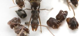 Predatory behavior of Florida's skull-collecting ant | Science Daily