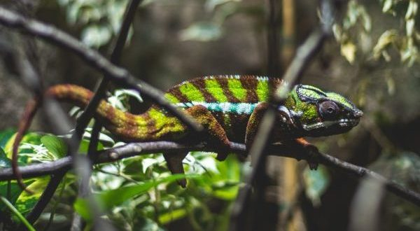 Chameleon inspires 'smart skin' that changes color in the sun| National Geographic