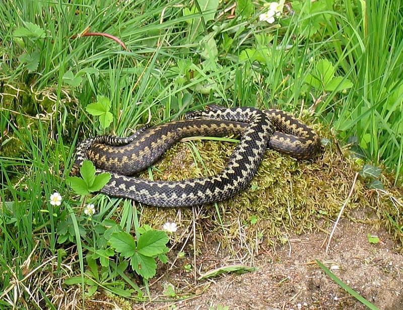 https://i2.wp.com/www.soil-net.com/album/Animals/Reptile_Amphibians/slides/Snake%20New%20Forest%20Group%20of%20Adders%2001.jpg