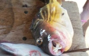 2 die after consuming poisonous puffer fish Afram Plains