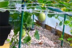 Solar Quadgrow Melons