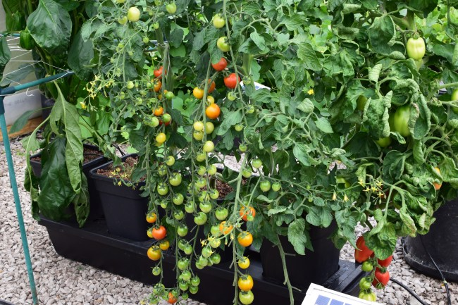 Tomatoes 10th July 2018