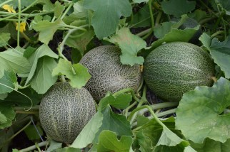 Water Melons 10th July 2018