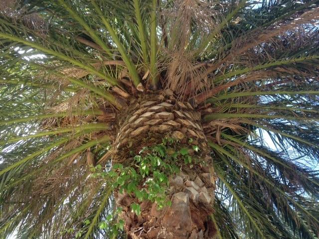 Palmiers Hyères