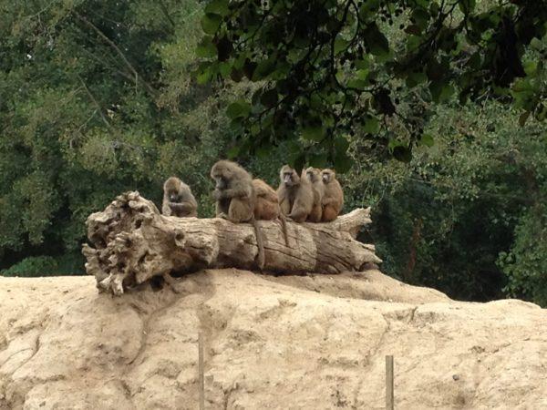 Primates Réserve Mayenne