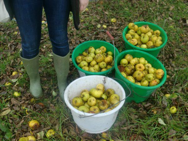 Pommes Mayenne
