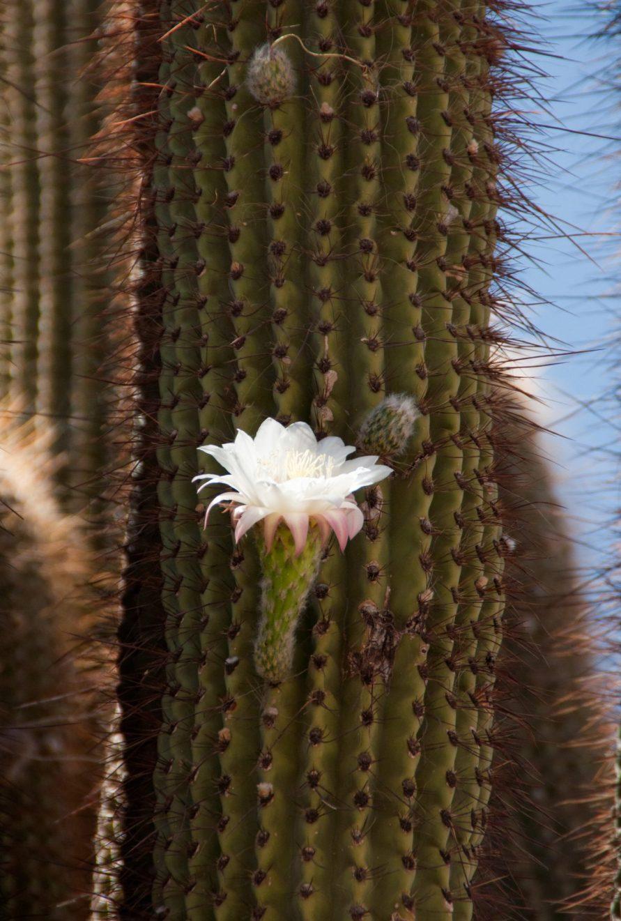 Fleur de Cactus Argentine