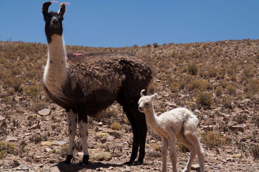 bébé lama Bolivie