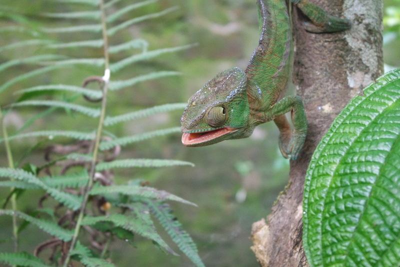 Voir caméléons Madagascar