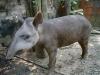 El Tapirus kabomani en Pando. | Foto: V.A. Vos