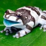 Rana Lechera Amazonica