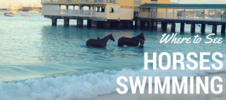 If you've seen the photos of the horses swimming in Barbados and want to know where to witness this beautiful sight, read on to find out how!