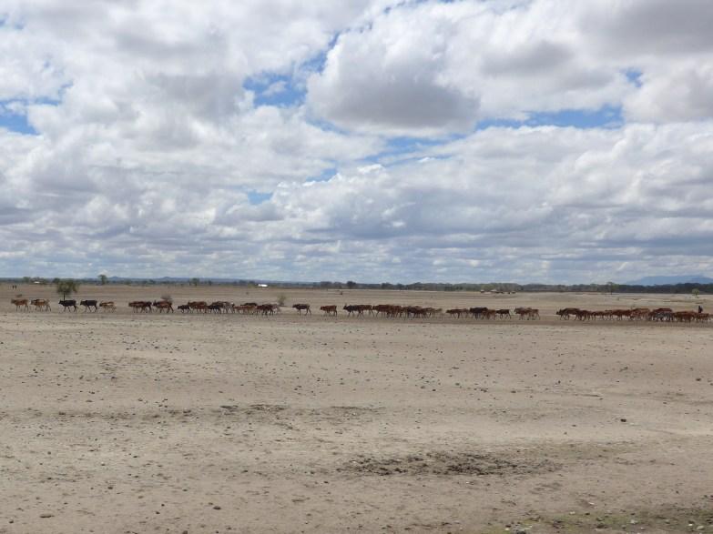 Maasai herd