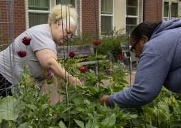 Liz (l) and Sabrina (r) harvest pole beans.