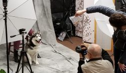 A volunteer uses a bag of food to lure this husky to look in the right direction.