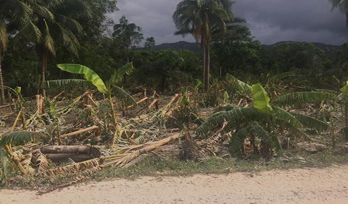 Haïti destruction bananeraies