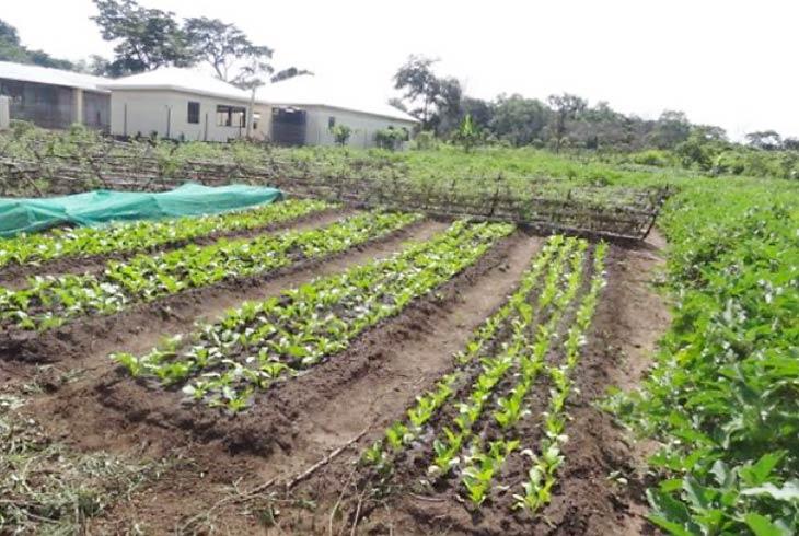 Farm crops in Riimenze, South Sudan