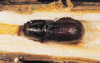 Plagas en Pinos (Tomicus destruens, Ibs sexdentatus y Orthotomicus erosus)