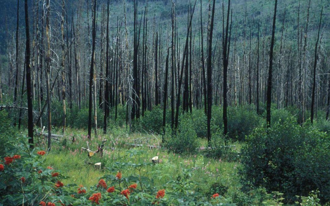 Plantas pirófitas, posibles aliadas frente a incendios.
