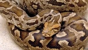 Mexican Python