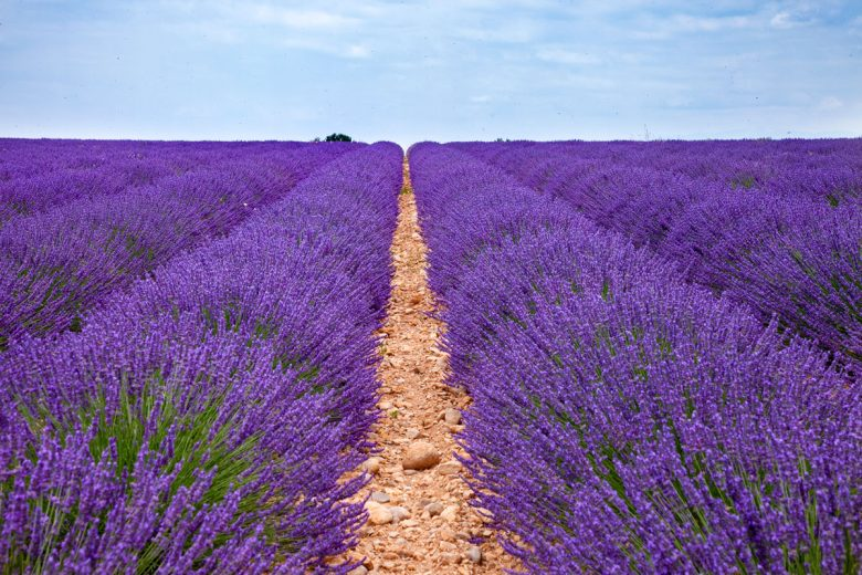 Journey-to-Provence-Fields-of-Lavender-in-Bloom