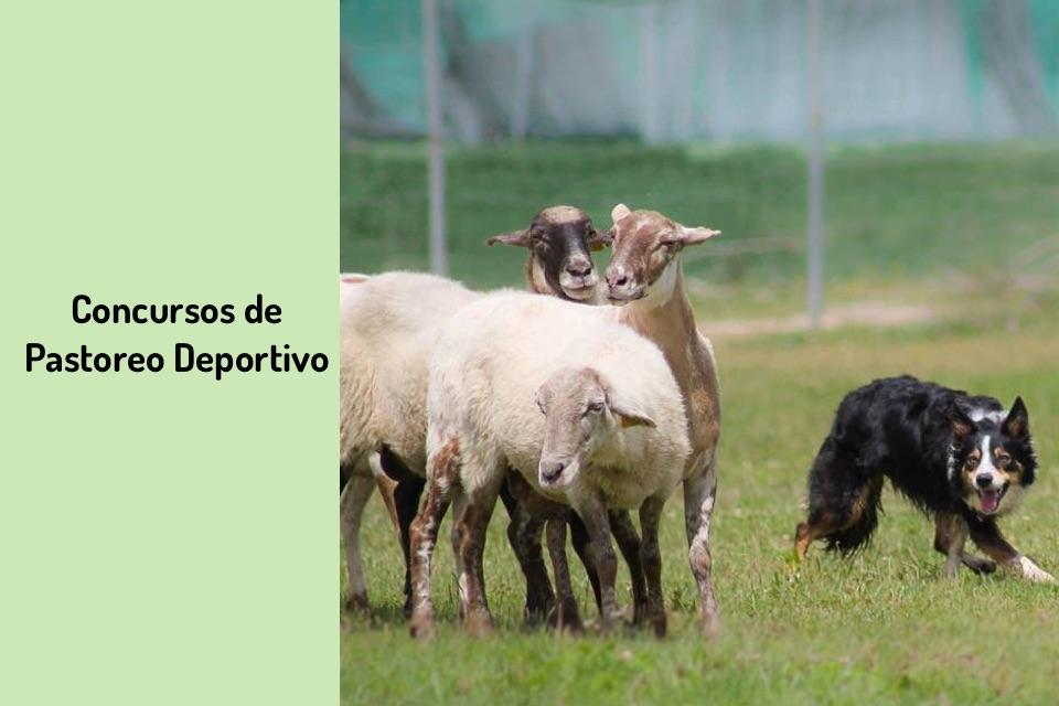 Concurso de pastoreo deportivo, adiestramiento del perro pastor