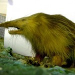 los animales mas raros almiqui