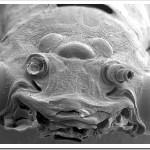 los animales mas raros mosca dobson