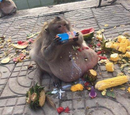 Ponen a dieta a mono que se alimentaba con comida chatarra