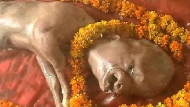 Nace ternero con cabeza humana en la India