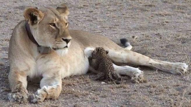 El increíble caso de leona que adoptó a un cachorro leopardo