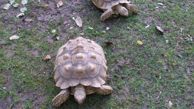 Roban tortuga de 100 años en un refugio de animales de Nueva York