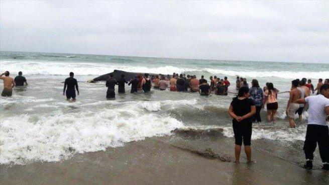 Bañistas devuelven al mar ballena que estuvo varada 11 horas en las costas de Ecuador