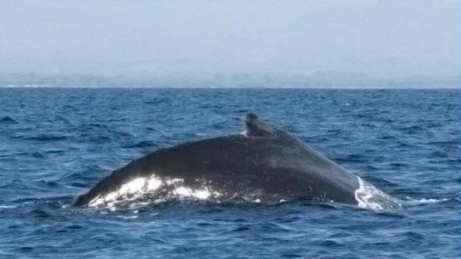 MARN da recomendaciones para avistar ballenas y delfines en costas salvadoreñas