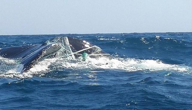 Liberan a ballenas atrapadas en redes de pesca en playa Los Cobanos, Sonsonate
