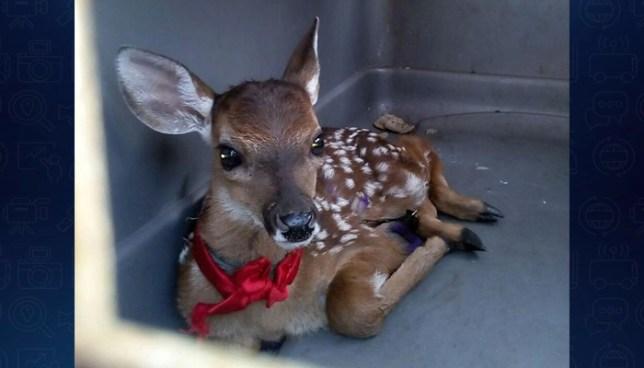 Rescatan a cría de ciervo que fue perseguida por perros en Chalatenango