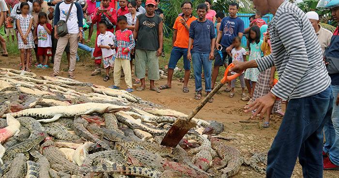 Masacran a 300 cocodrilos por la muerte de un hombre en Indonesia