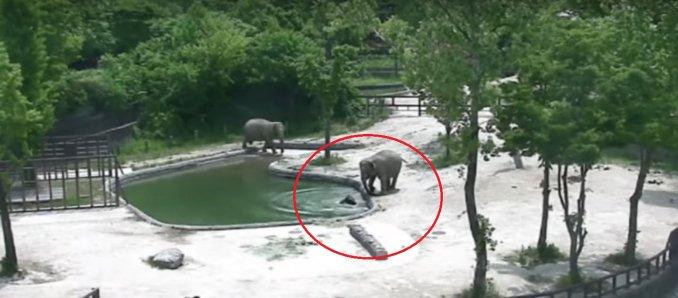Pareja de elefantes salvan a su cría de morir ahogada en el estanque de un zoológico