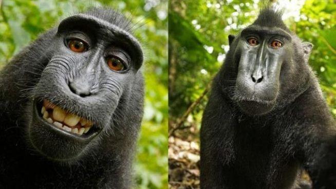 El mono que se hizo famoso por su selfie pierde los derechos de su imagen