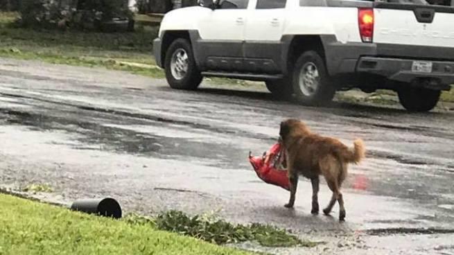 Perro huye del huracán Harvey con su bolsa de comida y ahora es un héroe
