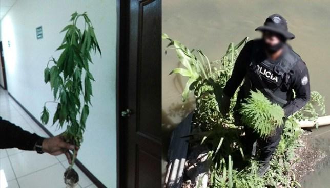 PNC descubre planta de marihuana en quebrada de una comunidad de San Salvador