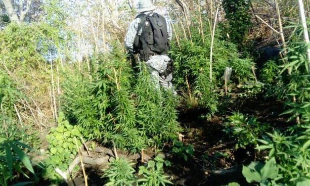 Policía localiza una plantación de marihuana en una finca de Sonsonate