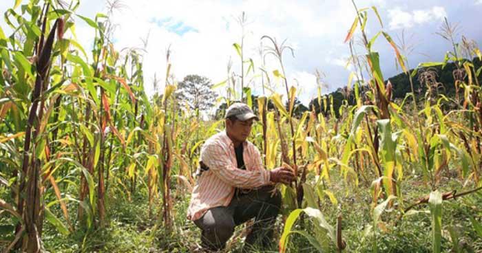 Ministro de Agricultura asegura que siembra postrera repondrá perdidas causadas por la sequía