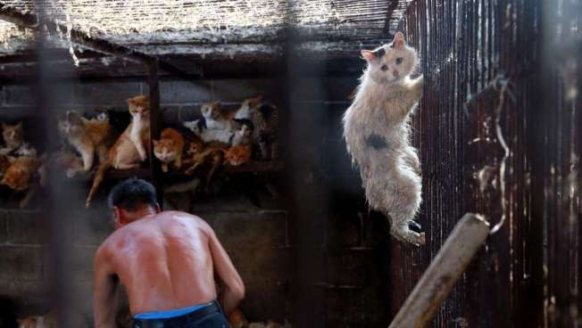 Autoridades chinas capturan a un hombre que trasportaba 500 gatos para ser vendidos a restaurantes