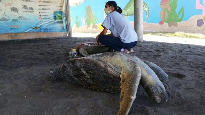 Encuentran más tortugas muertas en costa salvadoreña