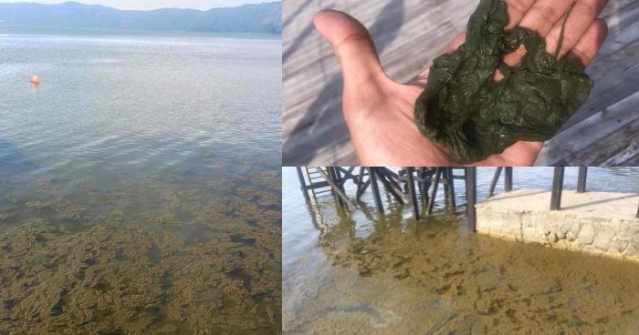 Nueva proliferación de especie de alga en el Lago de Coatepeque