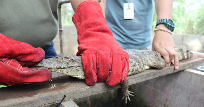 Hieren a un caimán y destruyen sus nidos en Barra de Santiago
